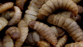 Fly larvae is Ohio entrepreneur's solution to America's food waste problem